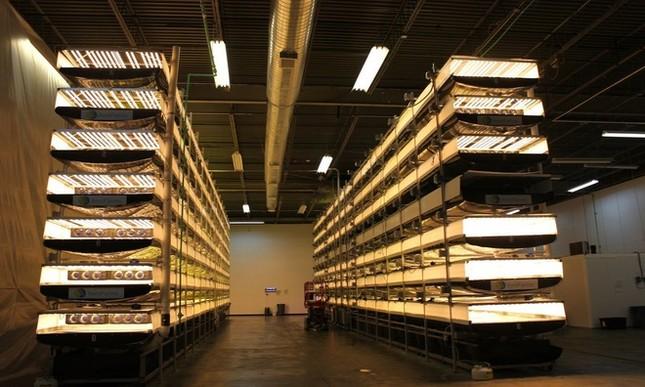 Trang trại thẳng đứng cung cấp 900 tấn rau sạch cho Mỹ mỗi năm - ảnh 1