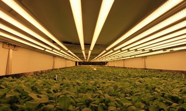 Trang trại thẳng đứng cung cấp 900 tấn rau sạch cho Mỹ mỗi năm - ảnh 4