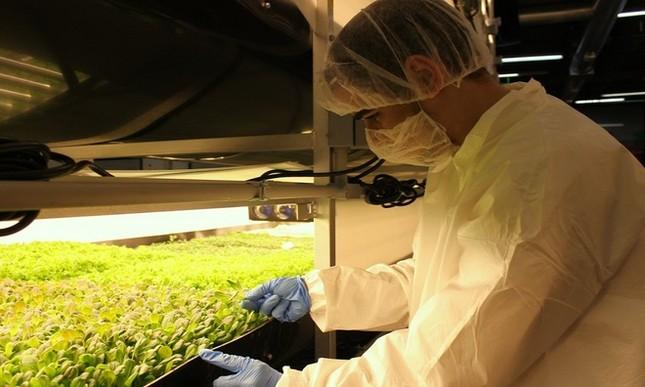 Trang trại thẳng đứng cung cấp 900 tấn rau sạch cho Mỹ mỗi năm - ảnh 7