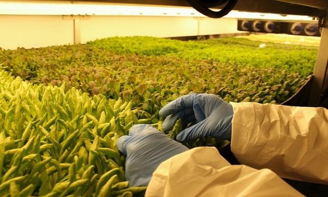 Trang trại thẳng đứng cung cấp 900 tấn rau sạch cho Mỹ mỗi năm - ảnh 8