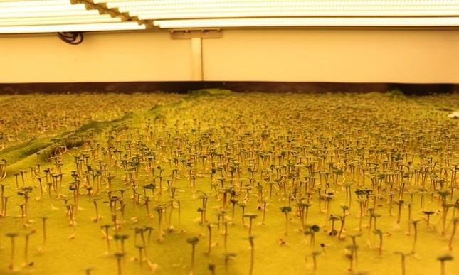 Trang trại thẳng đứng cung cấp 900 tấn rau sạch cho Mỹ mỗi năm - ảnh 10