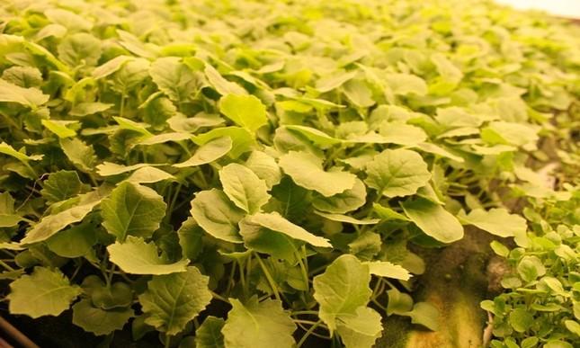 Trang trại thẳng đứng cung cấp 900 tấn rau sạch cho Mỹ mỗi năm - ảnh 12