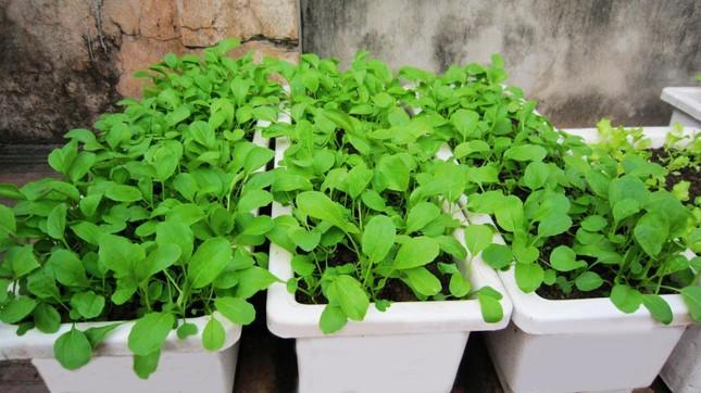 3 bước đơn giản để có vườn rau sạch trên ban công - ảnh 1