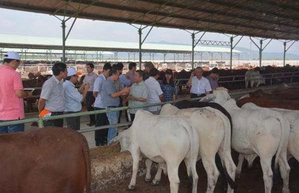 Bầu Đức thu 1.233 tỷ đồng nhờ bán bò - ảnh 1