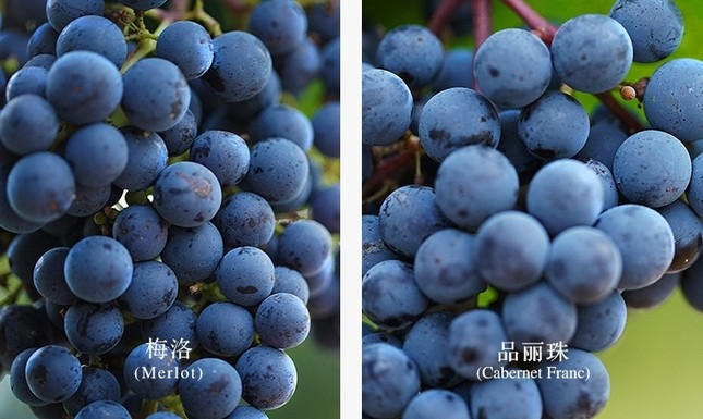 Cận cảnh vườn nho 97 tỷ của 'Tiểu Yến Tử' Triệu Vy - ảnh 7