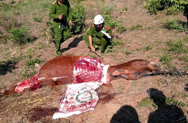 Người dân Phú Yên hoang mang vì tình trạng chặt đùi bò - ảnh 1