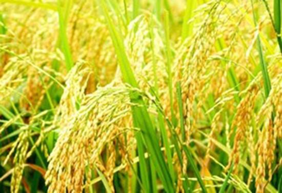 Đổi mới công nghệ chọn tạo giống lúa - ảnh 1