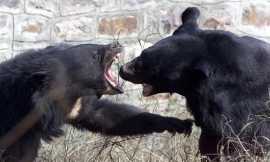 Phát hiện thịt người trong ruột gấu bị bắn chết ở Nhật - ảnh 1