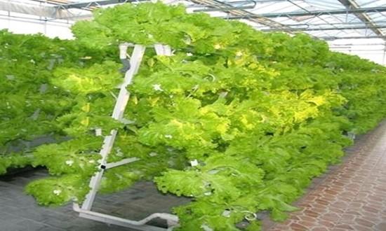 Nhà máy trồng rau không cần đất ở Trung Quốc - ảnh 1