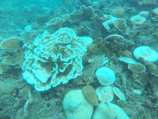 San hô tại Côn Đảo bị tẩy trắng hàng loạt - ảnh 5