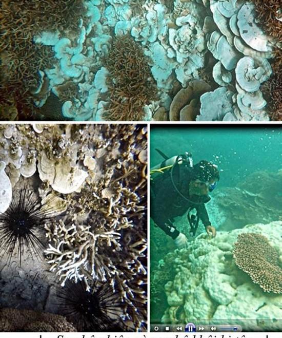 San hô tại Côn Đảo bị tẩy trắng hàng loạt - ảnh 1