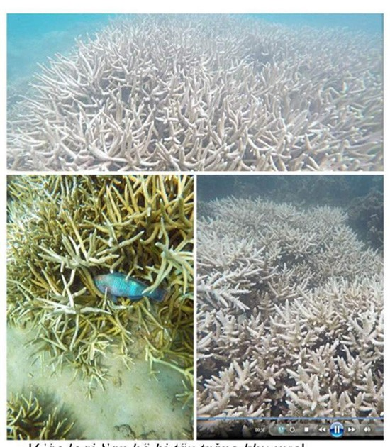 San hô tại Côn Đảo bị tẩy trắng hàng loạt - ảnh 2