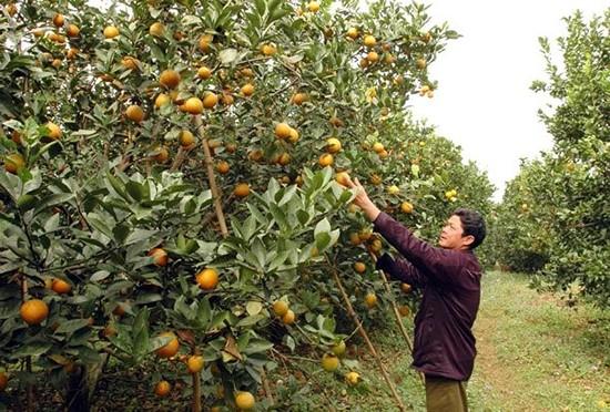 Cam Cao Phong xuất xứ Trung Quốc tràn lan ở Hà Nội - ảnh 1
