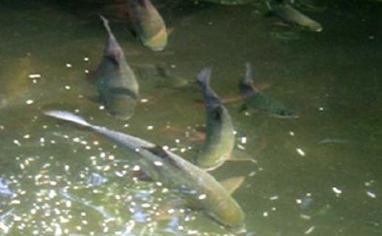 Tái tạo cá quý thả xuống sông Gâm - ảnh 2
