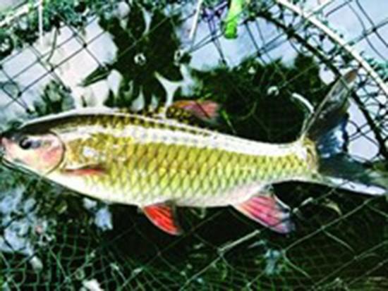 Phú Thọ nghiên cứu, sản xuất thành công giống cá bỗng quý hiếm - ảnh 1