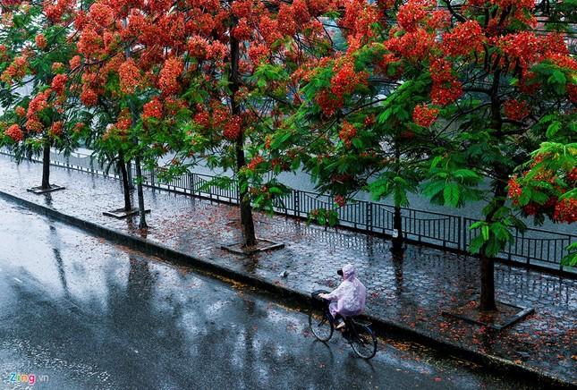 Hoa phượng đỏ rực rỡ khắp Hà Nội - ảnh 2