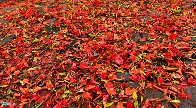 Hoa phượng đỏ rực rỡ khắp Hà Nội - ảnh 3