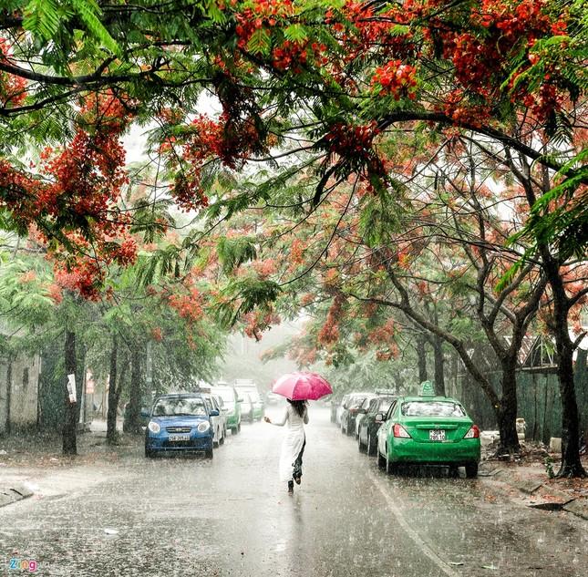 Hoa phượng đỏ rực rỡ khắp Hà Nội - ảnh 4
