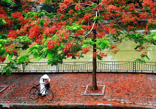 Hoa phượng đỏ rực rỡ khắp Hà Nội - ảnh 5