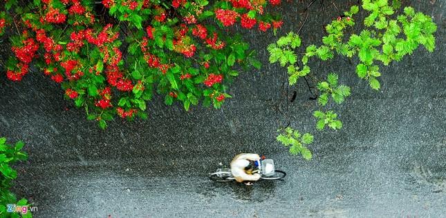 Hoa phượng đỏ rực rỡ khắp Hà Nội - ảnh 8