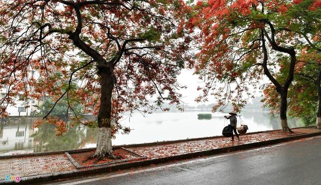 Hoa phượng đỏ rực rỡ khắp Hà Nội - ảnh 9