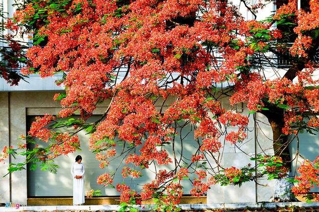 Hoa phượng đỏ rực rỡ khắp Hà Nội - ảnh 10