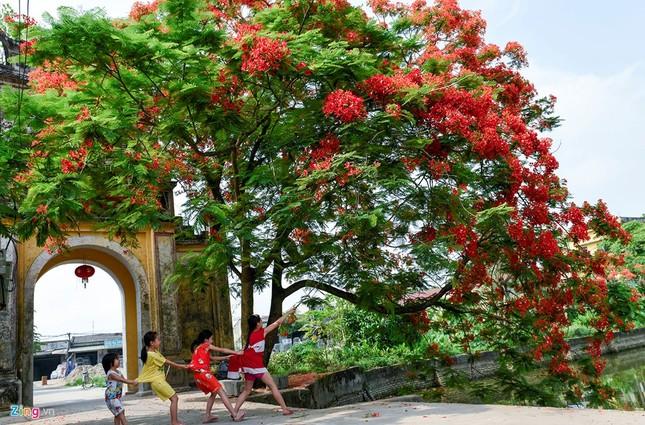 Hoa phượng đỏ rực rỡ khắp Hà Nội - ảnh 13