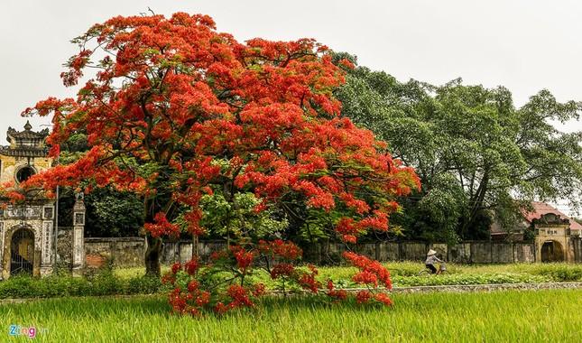 Hoa phượng đỏ rực rỡ khắp Hà Nội - ảnh 14