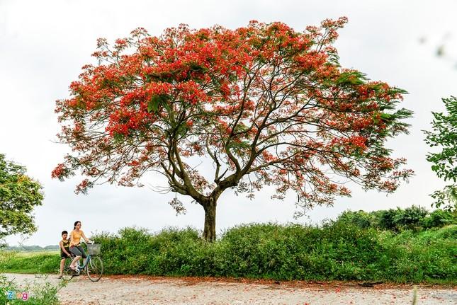 Hoa phượng đỏ rực rỡ khắp Hà Nội - ảnh 11