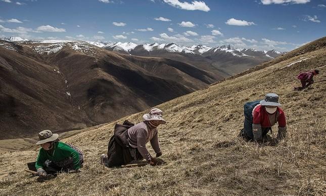 Săn đông trùng hạ thảo trên cao nguyên Tây Tạng - ảnh 1
