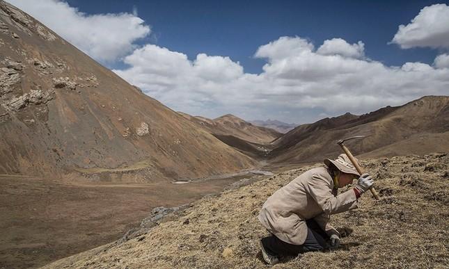 Săn đông trùng hạ thảo trên cao nguyên Tây Tạng - ảnh 2