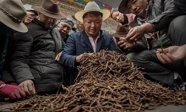Săn đông trùng hạ thảo trên cao nguyên Tây Tạng - ảnh 3