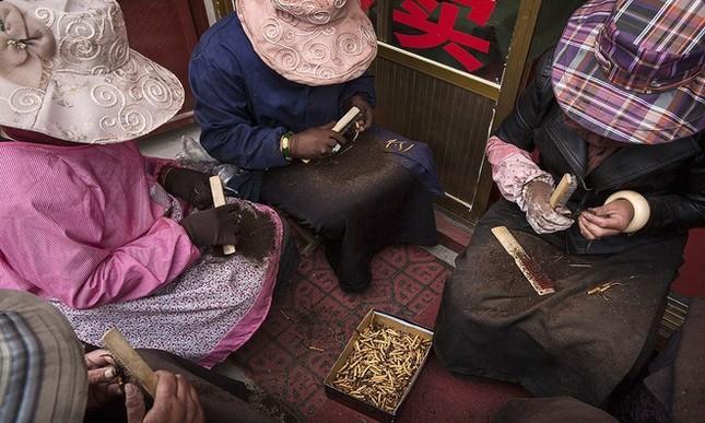 Săn đông trùng hạ thảo trên cao nguyên Tây Tạng - ảnh 4