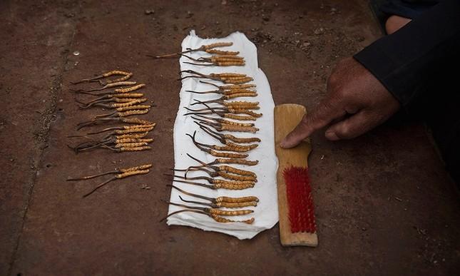 Săn đông trùng hạ thảo trên cao nguyên Tây Tạng - ảnh 6