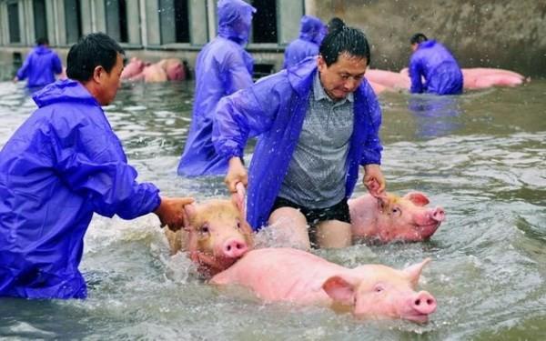 Số phận 6.000 chú lợn bị chìm trong nước lũ giờ ra sao? - ảnh 1