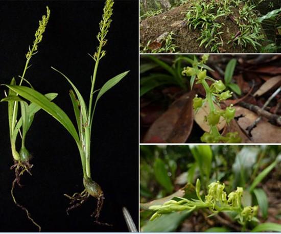 13 loài lan ở khu bảo tồn thiên nhiên Hòn Bà - ảnh 1