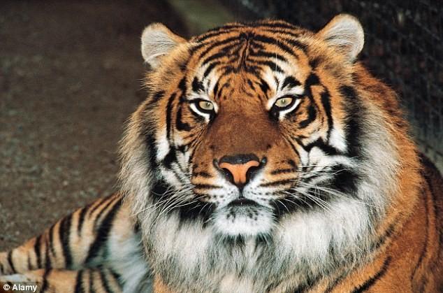 Nữ công nhân xấu sổ bị con hổ dữ đánh tơi tả đến chết - ảnh 1