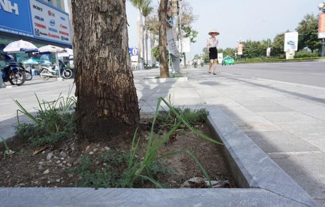Nhiều cây xanh ở phố lớn Thanh Hóa chết khô, nghi bị đầu độc - ảnh 3