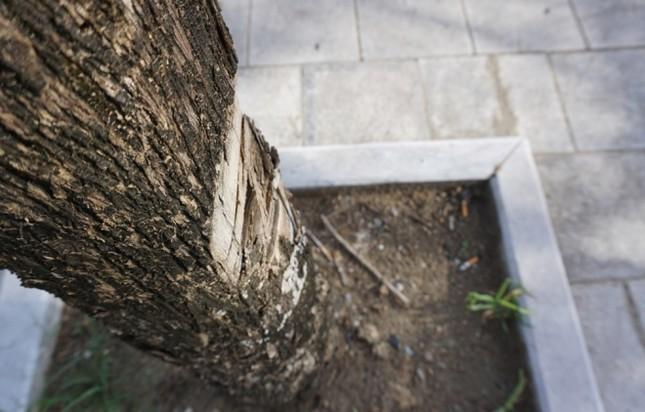 Nhiều cây xanh ở phố lớn Thanh Hóa chết khô, nghi bị đầu độc - ảnh 4