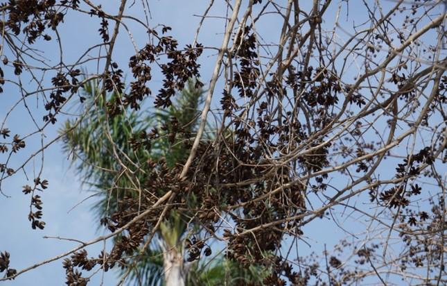 Nhiều cây xanh ở phố lớn Thanh Hóa chết khô, nghi bị đầu độc - ảnh 6