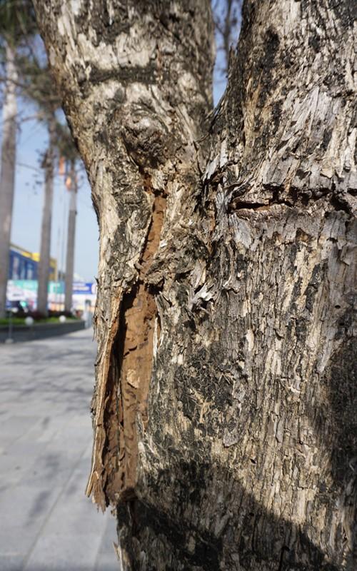 Nhiều cây xanh ở phố lớn Thanh Hóa chết khô, nghi bị đầu độc - ảnh 7