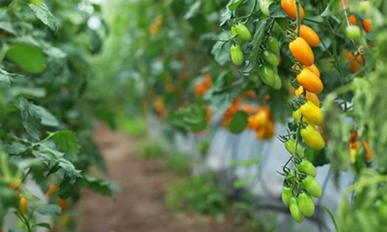 Vườn cà chua được trồng từ sữa và trứng gà - ảnh 1