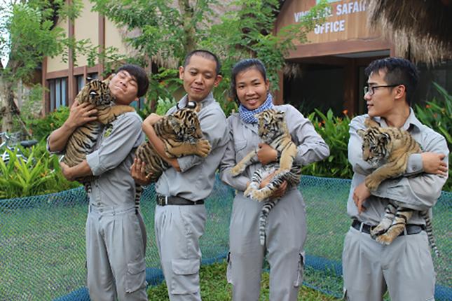 Vinpearl Safari đón thêm 4 chú hổ quý Bengal - ảnh 1