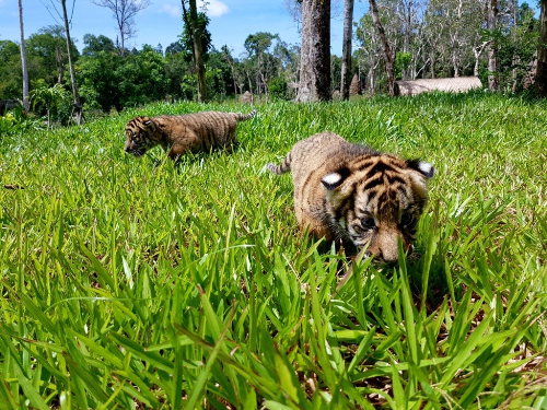 Vinpearl Safari đón thêm 4 chú hổ quý Bengal - ảnh 3