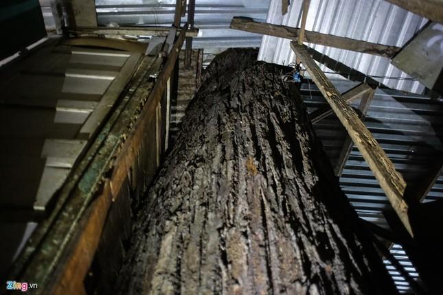 [ẢNH] Nhiều cây trăm tuổi ở Sài Gòn bị... nhốt vào nhà - ảnh 3