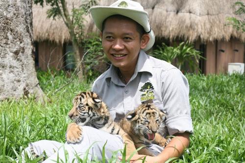 Vinpearl Safari đón thêm 4 chú hổ quý Bengal - ảnh 4
