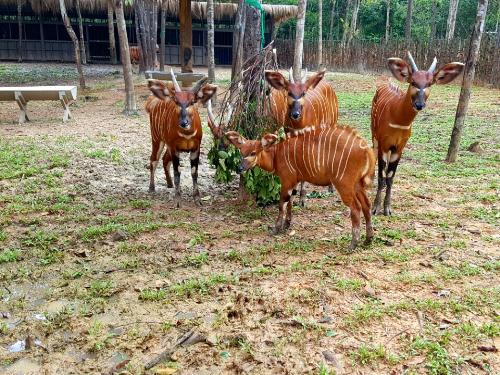 Vinpearl Safari đón thêm 4 chú hổ quý Bengal - ảnh 6