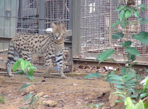 Vinpearl Safari đón thêm 4 chú hổ quý Bengal - ảnh 7