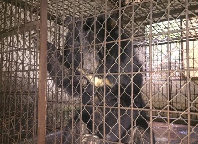 Gấu ngựa được cứu hộ sau hơn một thập kỷ trong lồng sắt - ảnh 1