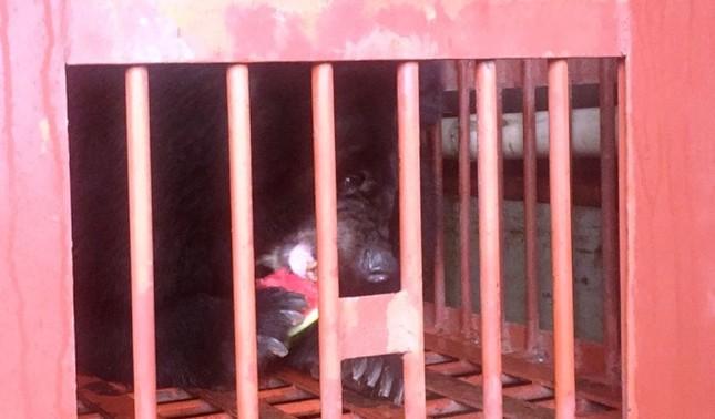 Gấu ngựa được cứu hộ sau hơn một thập kỷ trong lồng sắt - ảnh 10